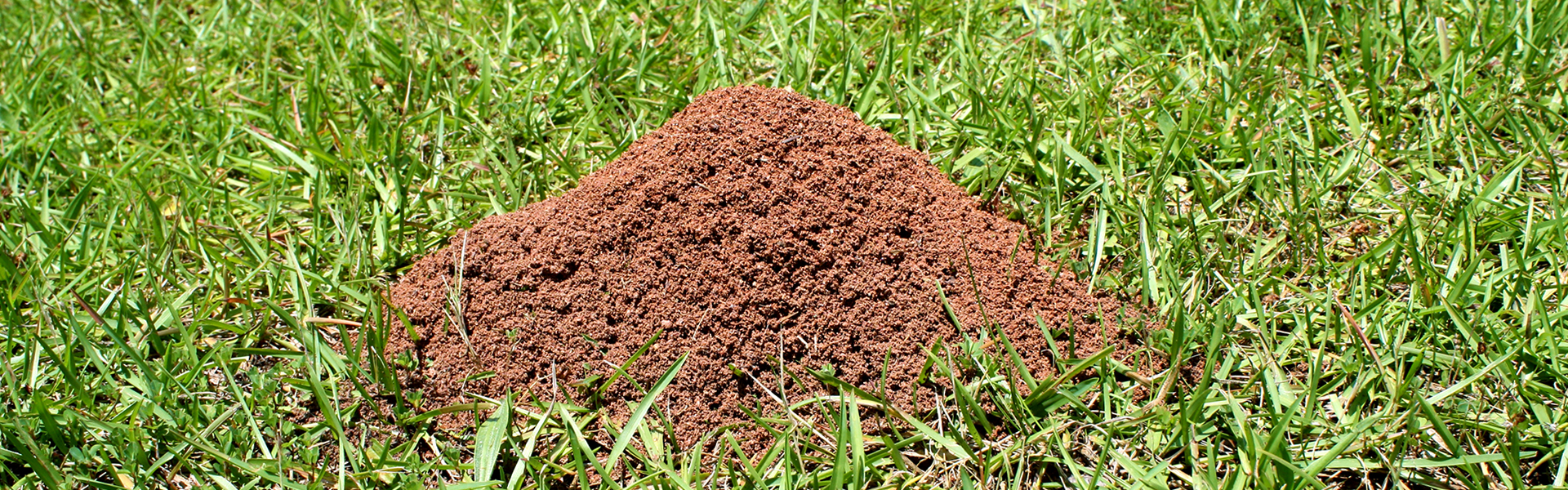 Fire-Ant-Hill-2