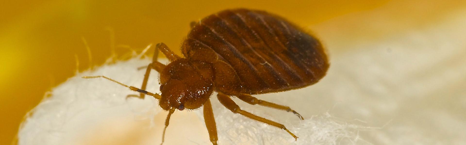 Slider-Bed-Bug-2