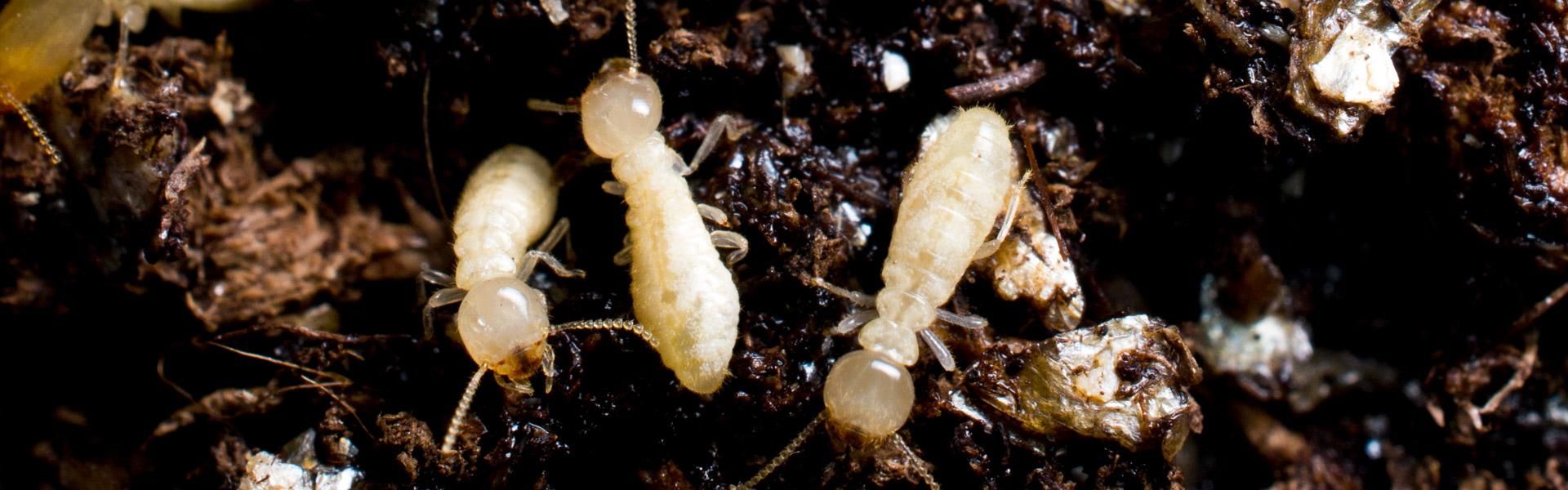 Termites-3